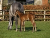 grey-mare-and-foal