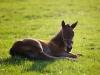 sleeping-foal