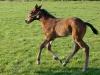 trotting-foal